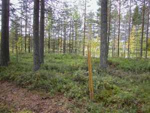 Kokgropen vid Kolari. Skelleftepikarna i förgrunden samt sonden i bakgrunden markerar var kokgropen börjar och slutar © Norrbottens museum