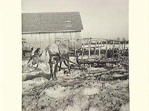 Påselad ren med höskrinda. Kangos, Pajala kn, 1936. Foto: E Lundemark  © Norrbottens museum