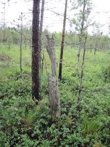 En rävtana, nästan vid gränsen till Västerbotten.