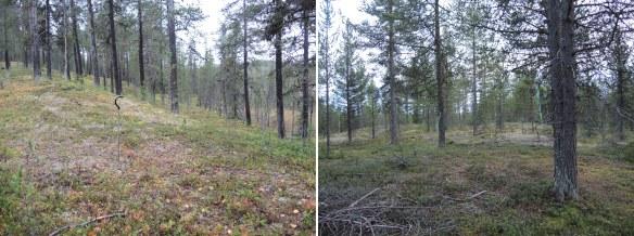 På fina tallhedar som ligger i anslutning till myrar finns ofta härdar. Foto: Therése Hällqvist och Åsa Lindgren, Norrbottens museum, CC (by, nc, nd)