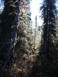 Solig höstmorgon i skogen. Foto: Åsa Lindgren, Norrbottens museum, CC (by, nc, nd)