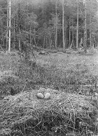 Tranbo med ägg, Muddus. Foto från Norrbottens museums bildarkiv, acc nr 2000:304. Foto: Edvard Wibeck.